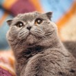 Scottish fold cat grey — Stock Photo #13900397