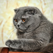 Stock Photo: Scottish fold cat grey