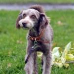 Terrier — Stock Photo