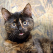 Stock Photo: Cat tortie color