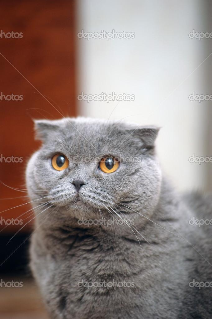 Шотландская вислоухая кошка  серая