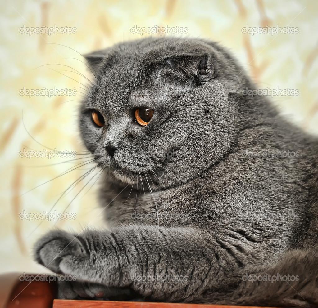 grigio gatto scottish fold foto stock 13900960. Black Bedroom Furniture Sets. Home Design Ideas