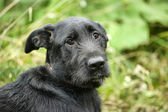 Black mongrel dog — Stock Photo