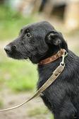 Siyah melez köpek — Stok fotoğraf