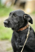 Black mongrel dog — Foto Stock