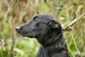 Black mongrel dog — Stock Photo