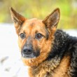 Half-breed shepherd — Stock Photo
