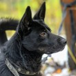 Black half-breed dog in winter — Stock Photo