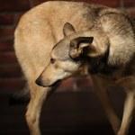 Half-breed shepherd puppy — Stock Photo #14669151