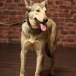 Half-breed shepherd puppy — Stock Photo #14669201