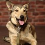 Half-breed shepherd puppy — Stock Photo
