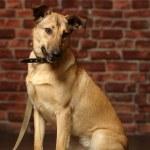 Half-breed shepherd puppy — Stock Photo #14669531