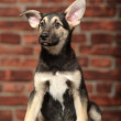 Funny-eared puppy in front of a brick wall — Stock Photo
