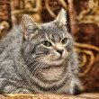 Beautiful gray cat — Stock Photo
