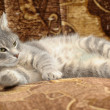 Beautiful gray cat — Stock Photo #15352445