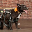 Disabled dog — Stock Photo