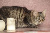 Sibiřské kotě — Stock fotografie