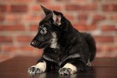 Puppy,dog.pet. — Stockfoto