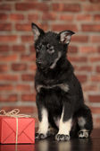 Black puppy and gift box — Stockfoto
