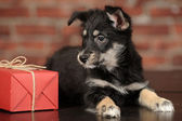 Black puppy and gift box — Foto Stock
