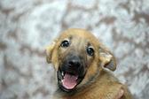 Funny purebred puppy — Stock Photo