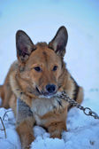 Red mongrel dog in the snow — Stock Photo