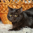 Black cat - Foto Stock