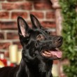 Black Shepherd — Stock Photo