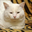 White cat - Stock Photo