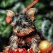 York puppy on christmas background - Stock Photo