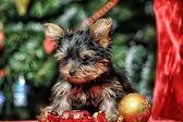 York puppy on christmas background — Stock Photo