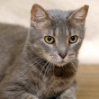 Gray striped cat — Stock Photo #18669403