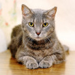 Gray striped cat — Stock Photo #18669497