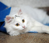 Turkish Angora — Stock Photo