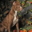 Brown Pit Bull — Stock Photo