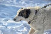 Alabai puppy — Stock Photo