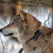 Gray wolf on the background of the winter forest — Stock Photo