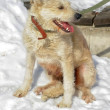 Stock Photo: White half-breed terrier dog