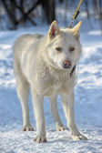 White Bear Dog in the snow — Stock Photo