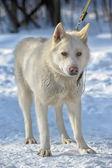 Белый медведь собака в снегу — Стоковое фото