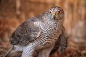 Goshawk — Photo
