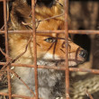 Red fox in a cage — Stock Photo