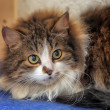 Fluffy cat — Stock Photo #23434924
