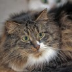 Fluffy Siberian cat — Stock Photo #23466600