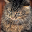 Fluffy Sibericat — Stock Photo #23470104