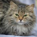 Fluffy Siberian cat — Stock Photo #23473754