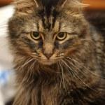 Fluffy Siberian cat — Stock Photo #23726143