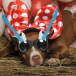 Circus dog — Stock Photo #24194703