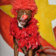 Circus dog — Stock Photo