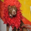 Stock Photo: Circus dog